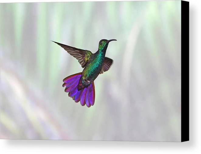 Horizontal Canvas Print featuring the photograph Hummingbird by David Tipling