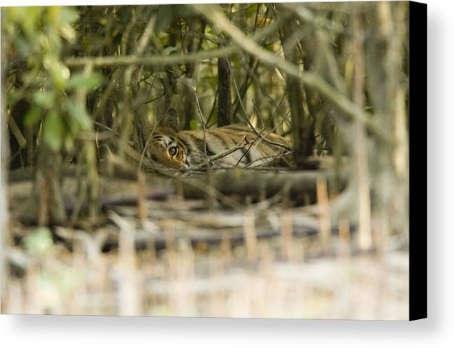 Day Canvas Print featuring the photograph A Female Tiger Rests In The Undergrowth by Tim Laman