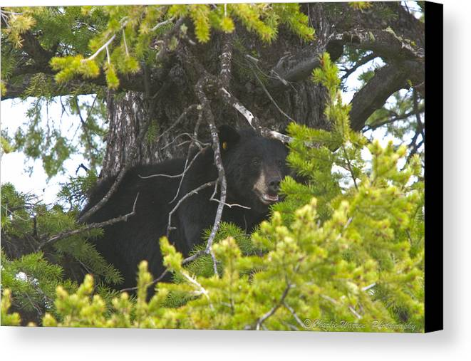 Brown Bear Canvas Print featuring the photograph Bear In A Tree by Charles Warren