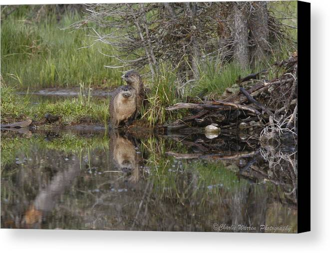 Beaver Canvas Print featuring the photograph Beaver Pair by Charles Warren