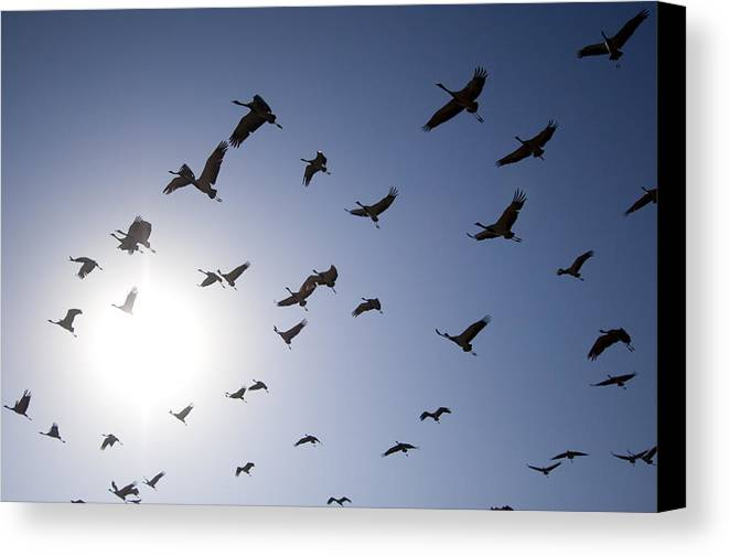 Horizontal Canvas Print featuring the photograph Demoiselle Cranes (anthropoides Virgo) Group Of Birds Flying, In Khichan, Rajasthan, India by Berndt Fischer