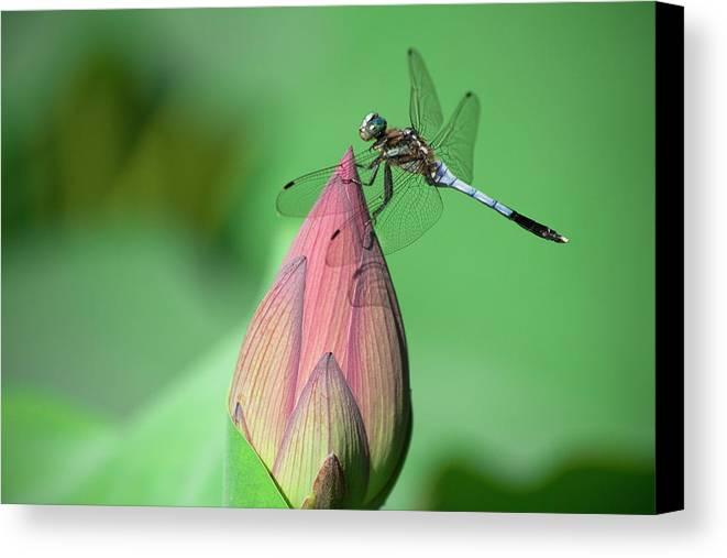 Horizontal Canvas Print featuring the photograph Dragonfly And Lotus Bud by masahiro Makino