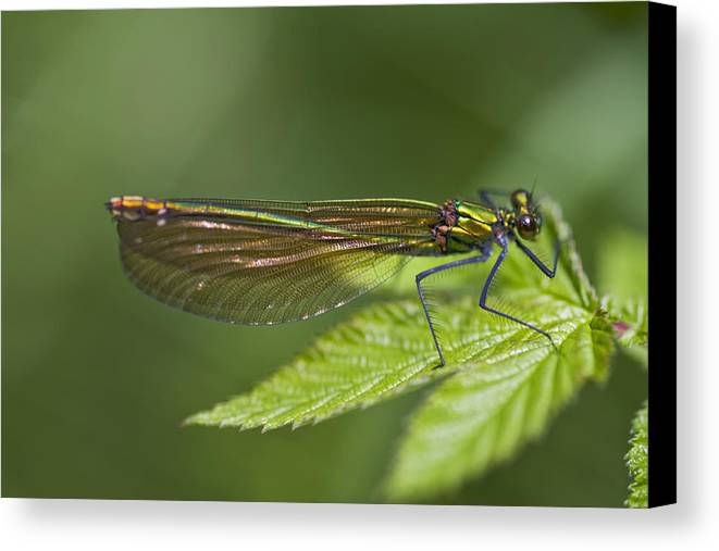 Calopteryx Splendens Canvas Print featuring the photograph Female Banded Demoiselle Damselfly by Dr Keith Wheeler