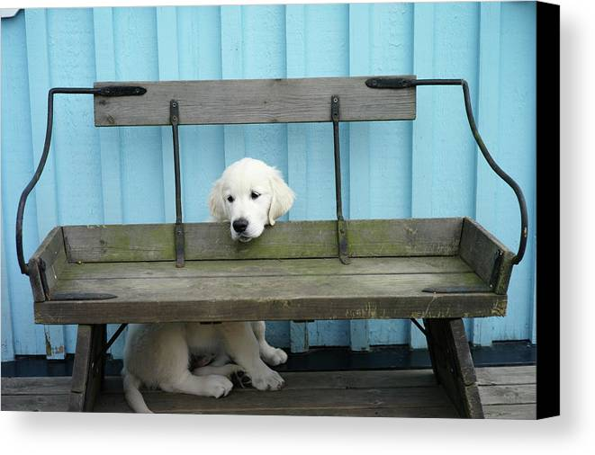 Horizontal Canvas Print featuring the photograph Golden Retrieven Puppy by Mikael Törnwall