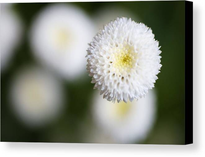 Horizontal Canvas Print featuring the photograph Isolated White Flower Bud by Tim Green