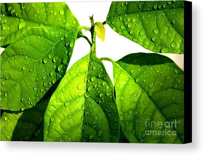 Raindrops Canvas Print featuring the photograph Leaves With Raindrops by Theresa Willingham