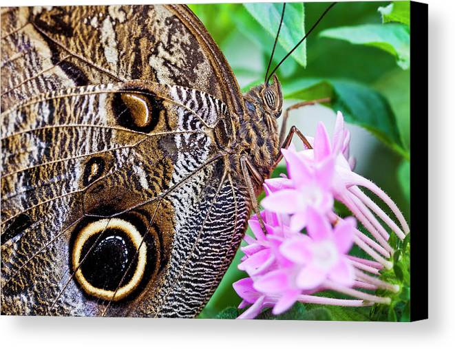 Horizontal Canvas Print featuring the photograph Owl Butterfly by Daniel Osterkamp