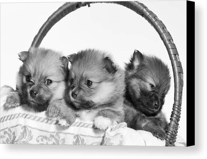 Puppies Canvas Print featuring the photograph Pomeranian by Everet Regal