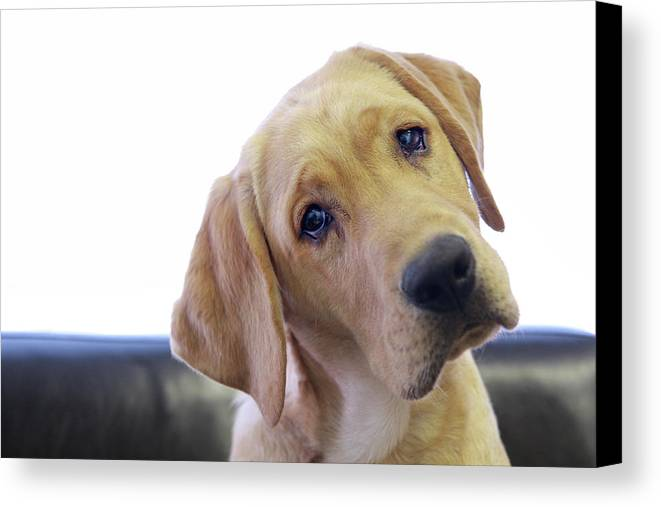Horizontal Canvas Print featuring the photograph Sad Looking Yellow Lab With Head Tilted On Chair by Back in the Pack dog portraits