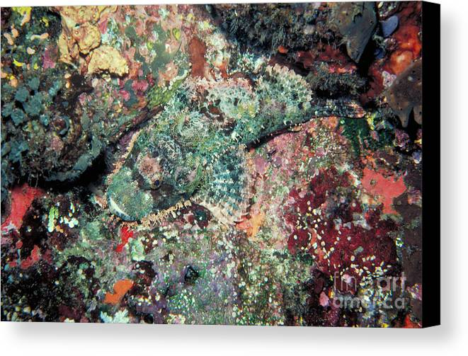 Scorpionfish Canvas Print featuring the photograph Scorpionfish by Gregory G. Dimijian
