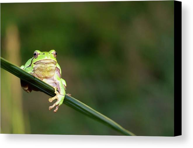 Horizontal Canvas Print featuring the photograph Tree Frog by Aaa