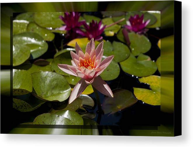 Water Lilly Canvas Print featuring the photograph Water Lilly 6 by Charles Warren