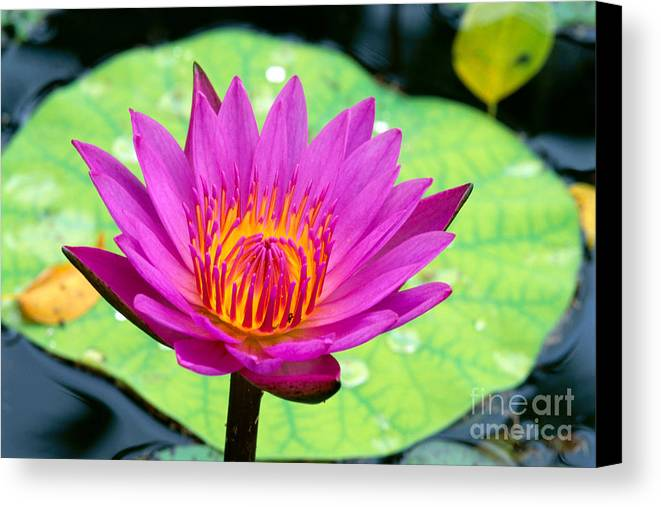 Afternoon Canvas Print featuring the photograph Water Lily by Bill Brennan - Printscapes