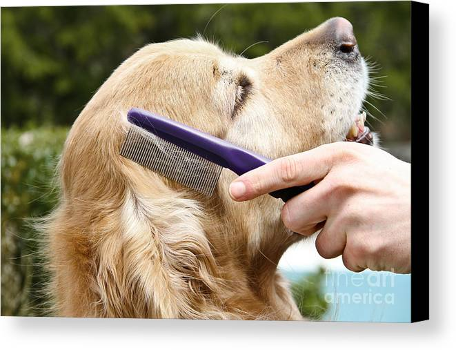 Golden Retriever Canvas Print featuring the photograph Dog Grooming by Photo Researchers Inc