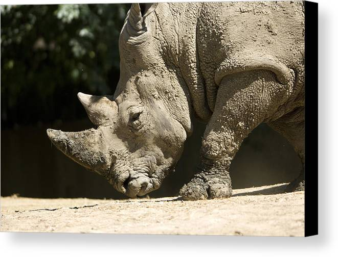 Photography Canvas Print featuring the photograph A White Rhino Sniffs The Dust by Joel Sartore