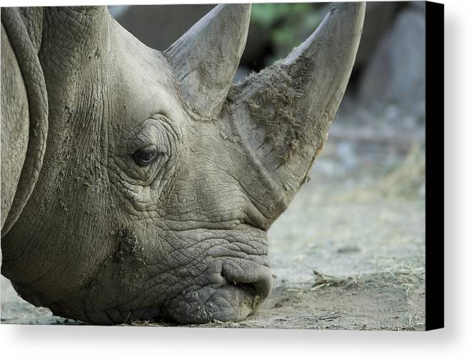 Photography Canvas Print featuring the photograph A White Rhino Sniffs The Muddy Ground by Joel Sartore