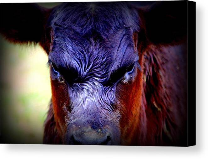 Cattle Photographs Canvas Print featuring the photograph Angry Black Angus Calf by Tam Graff