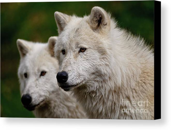 Michael Cummings Canvas Print featuring the photograph Arctic Wolf Pair by Michael Cummings