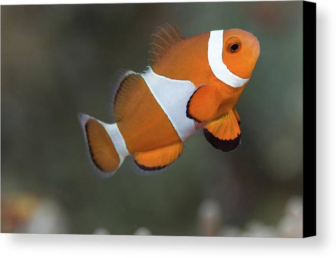 Horizontal Canvas Print featuring the photograph Clown Anemonefish (amphiprion Ocellaris) by Steven Trainoff Ph.D.