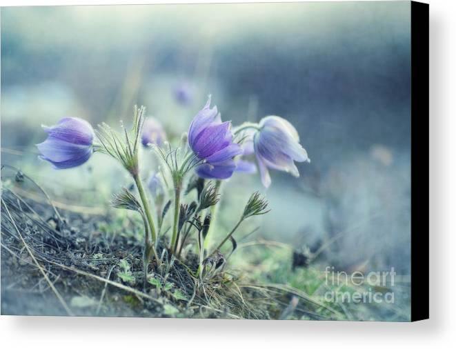 Pulsatilla Vulgaris Canvas Print featuring the photograph Finally Spring by Priska Wettstein
