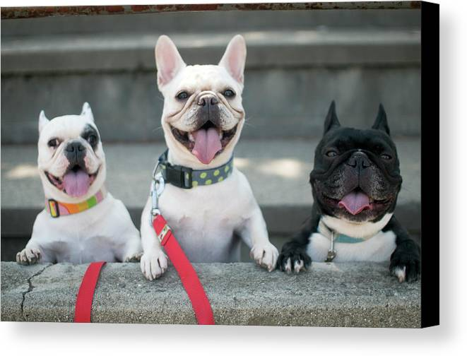 Horizontal Canvas Print featuring the photograph French Bulldogs by Tokoro