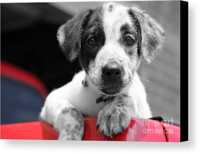 Dogs Canvas Print featuring the photograph Hmmm by Amanda Barcon