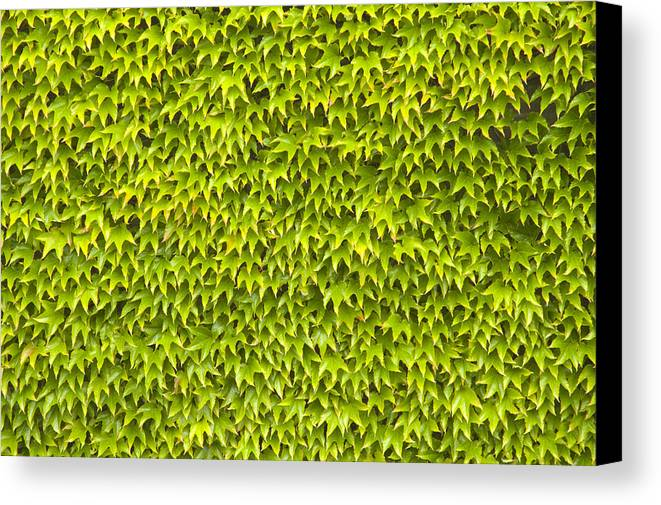 Abstract Canvas Print featuring the photograph Ivy Wall by Andy Smy