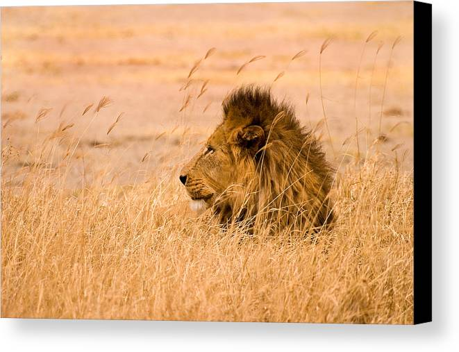 3scape Photos Canvas Print featuring the photograph King Of The Pride by Adam Romanowicz