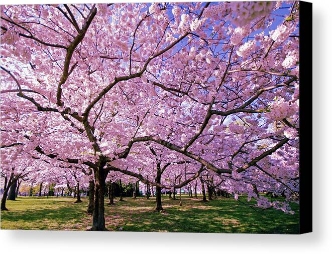 Cherry Blossoms Canvas Print featuring the photograph Rapt Away by Mitch Cat