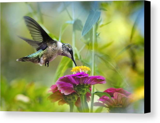 Hummingbird Canvas Print featuring the photograph Sweet Success by Christina Rollo