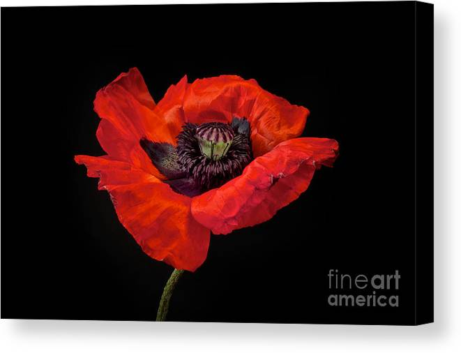 Red Oriental Poppy Canvas Print featuring the photograph Tiny Dancer Poppy by Toni Chanelle Paisley