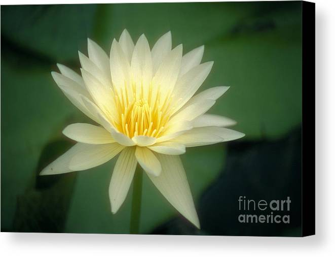 Anther Canvas Print featuring the photograph White Lily by Ron Dahlquist - Printscapes