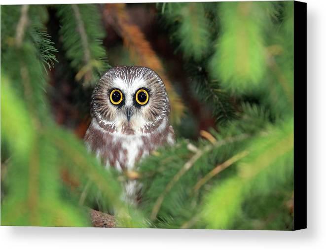 Horizontal Canvas Print featuring the photograph Wild Northern Saw-whet Owl by Mlorenzphotography
