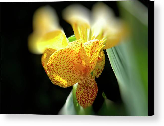 Canna Canvas Print featuring the photograph Yellow With Red Spots by Douglas Barnard