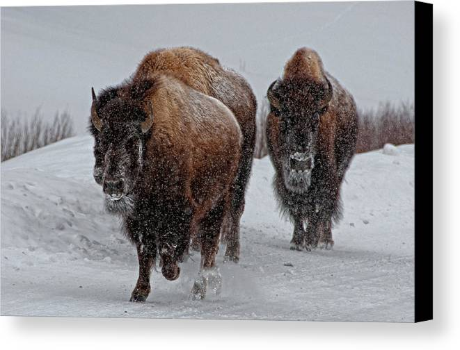 Horizontal Canvas Print featuring the photograph Yellowstone Bison by DBushue Photography