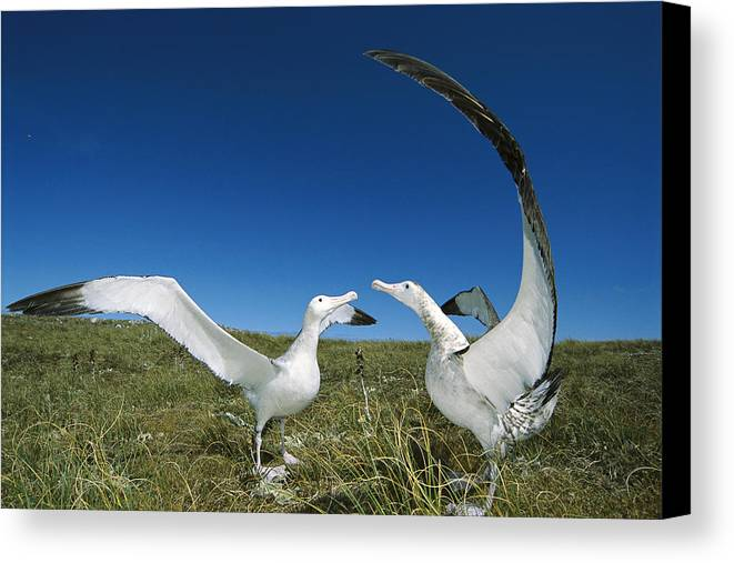 Feb0514 Canvas Print featuring the photograph Antipodean Albatross Courtship Display by Tui De Roy