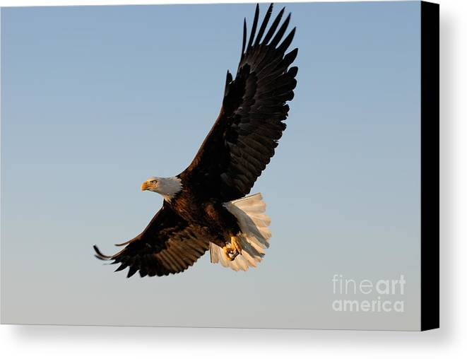 Animal Canvas Print featuring the photograph Bald Eagle Flying With Fish In Its Talons by Stephen J Krasemann
