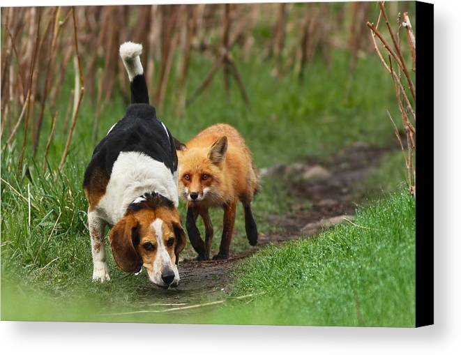 Animals Canvas Print featuring the photograph Probably The World's Worst Hunting Dog by Mircea Costina Photography