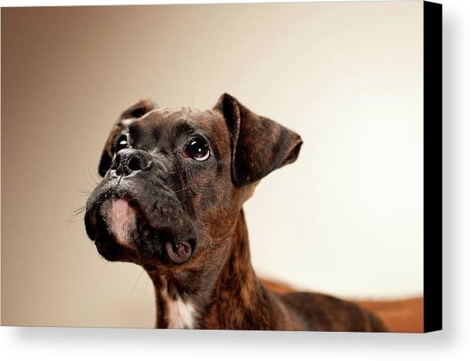 Horizontal Canvas Print featuring the photograph Boxer Puppy by Chad Latta