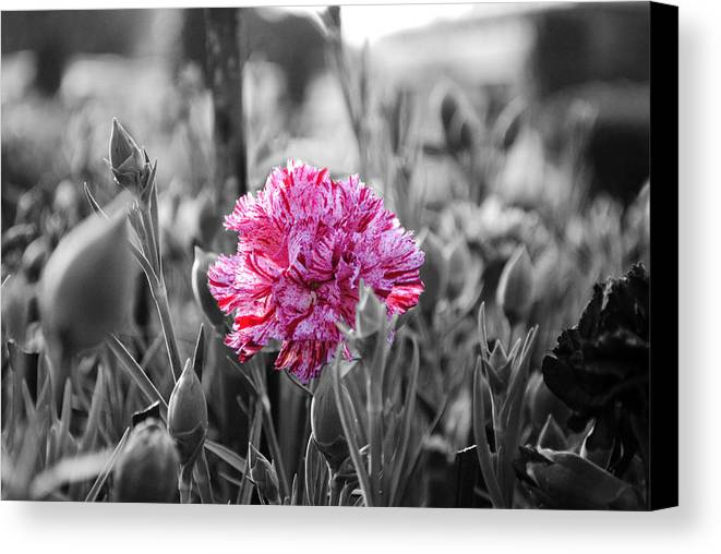 Pink Carnation Canvas Print featuring the photograph Pink Carnation by Sumit Mehndiratta