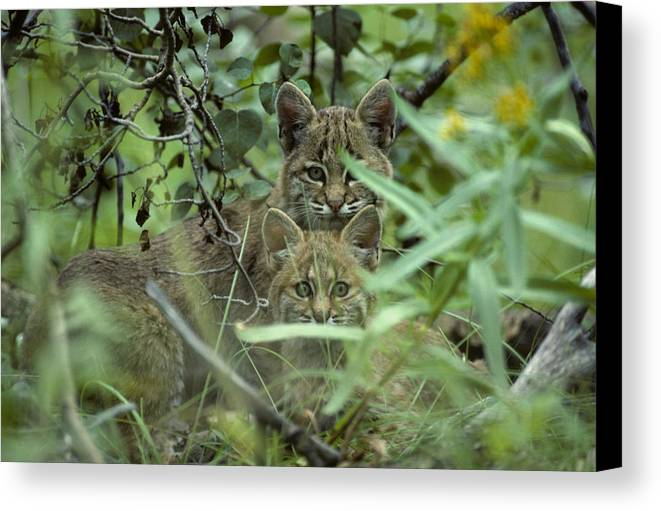 Nobody Canvas Print featuring the photograph Young Bobcats by Michael S. Quinton