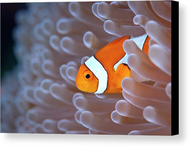 Horizontal Canvas Print featuring the photograph Clownfish In White Anemone by Alastair Pollock Photography