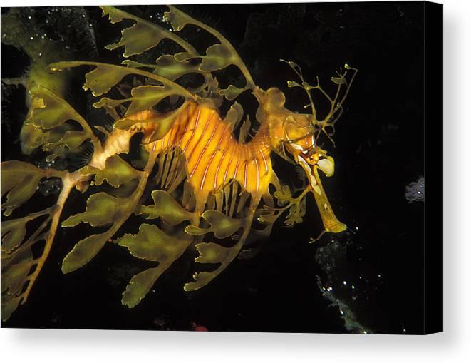 Sea Life Canvas Print featuring the photograph Leafy Seadragon, Off Kangaroo Island by James Forte