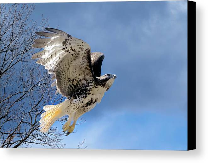 Redtail Hawk Canvas Print featuring the photograph Flight Of The Red Tail by Bill Wakeley
