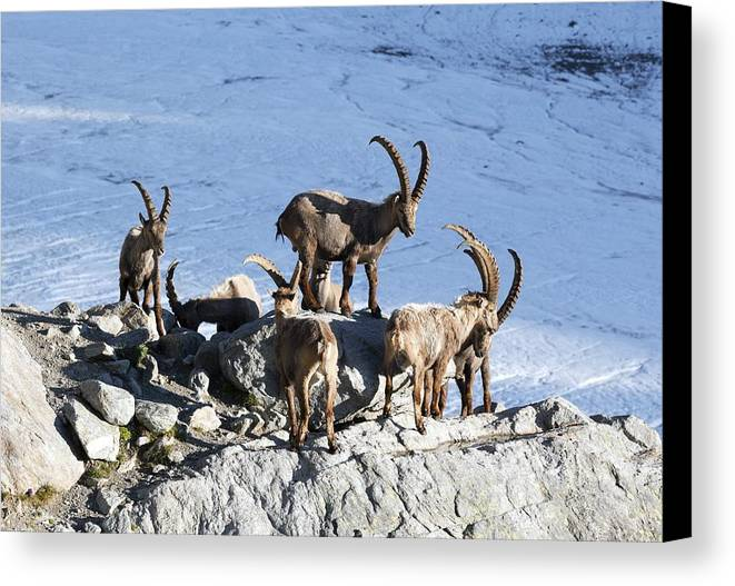 Glacier Canvas Print featuring the photograph Ibex By A Glacier by Science Photo Library