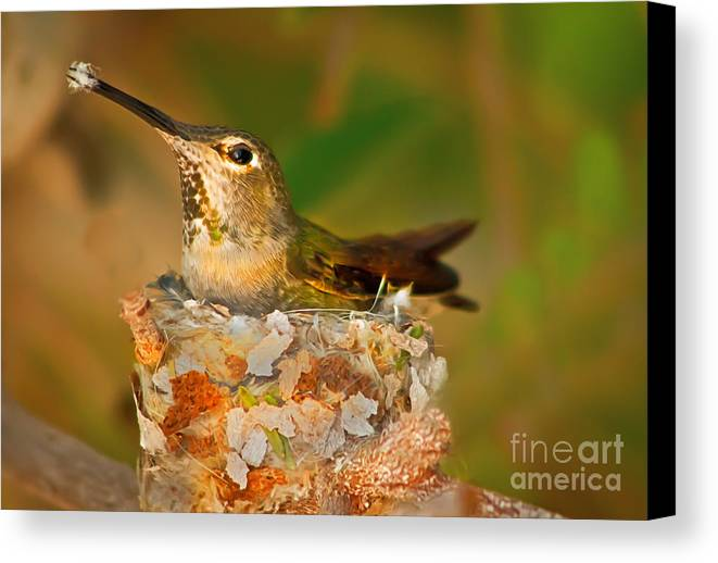 Humming Birds Canvas Print featuring the photograph Repairing by Robert Bales