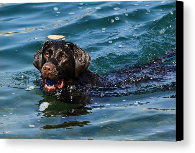Chocolate Labrador Retriever Canvas Print featuring the photograph Waterlogged 2 by Fraida Gutovich