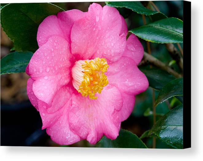 Camellia Canvas Print featuring the photograph Pretty In Pink 2 by Rich Franco