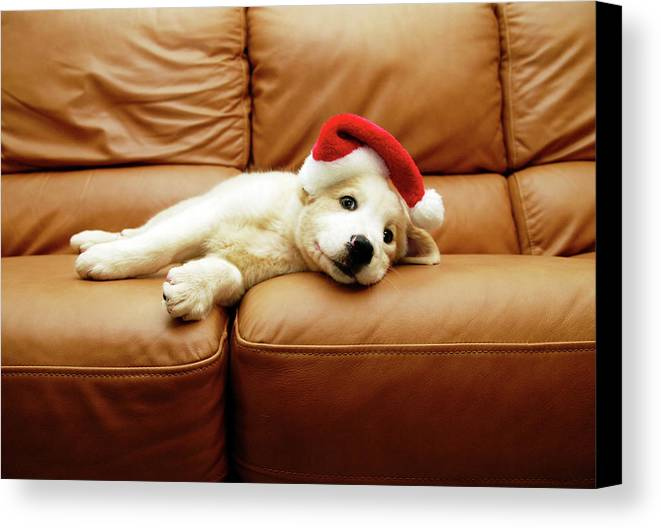 Horizontal Canvas Print featuring the photograph Puppy Wears A Christmas Hat, Lounges On Sofa by Karina Santos