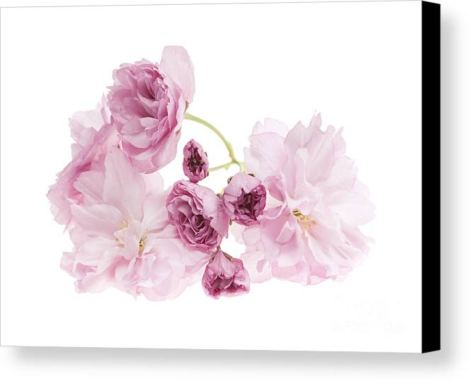 Cherry Canvas Print featuring the photograph Pink Cherry Blossoms by Elena Elisseeva